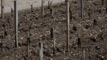 Le Time lapse des vignes de  Saint-Estèphe au mois de mars