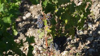 Le Time Lapse du mois de juillet sur les vignes de Saint-Estèphe