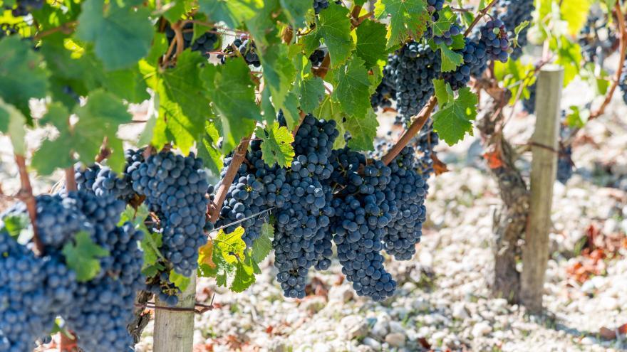 Vidéo Timelapse des vignes de  Saint-Estèphe en Septembre